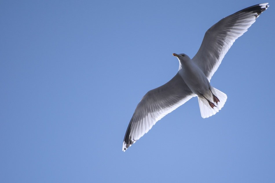 bottom view of the seagull in flight