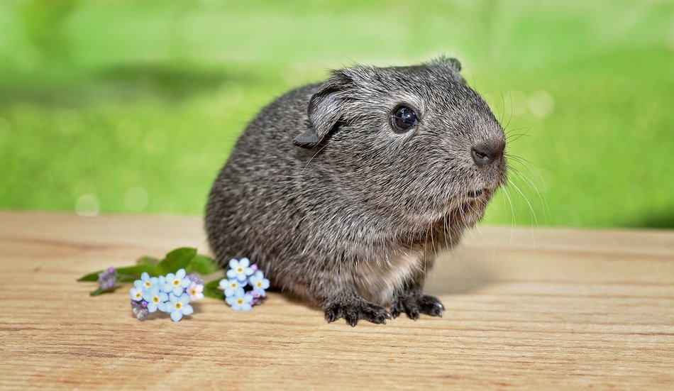silver guinea pig and cornflowers