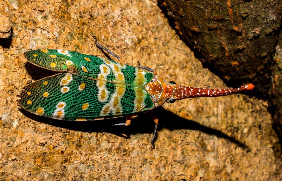 canthigaster cicada on the rock