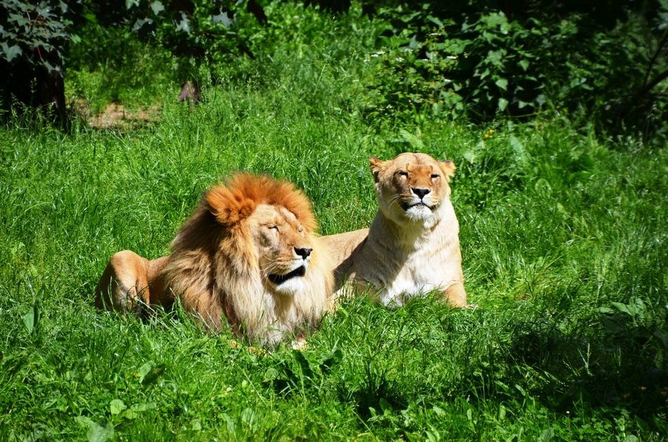couple of lions rest on the grass