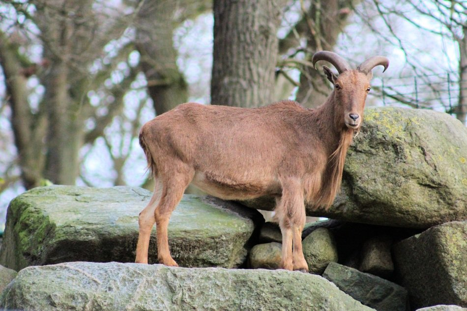 brown goat among large stones