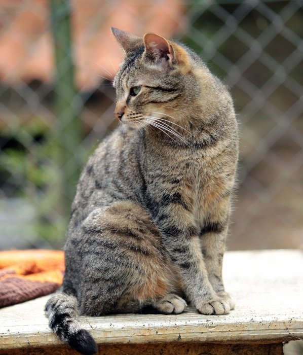 domestic tabby cat sitting outdoor