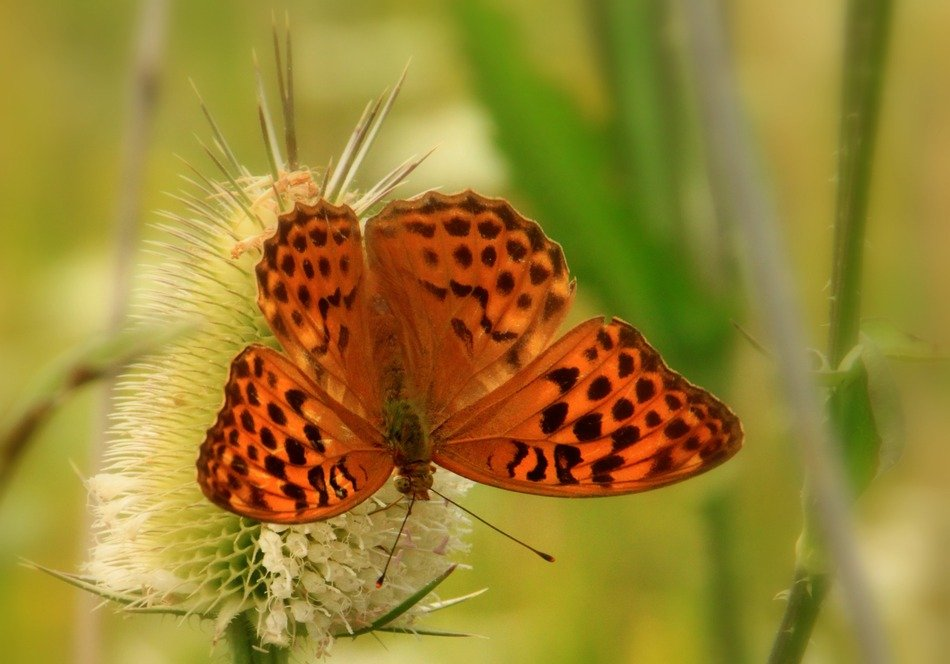 Brown Butterfly with black Dots close-up