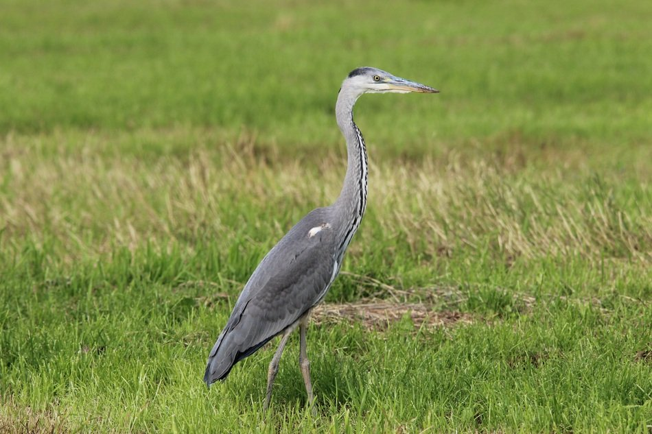 walking grey heron