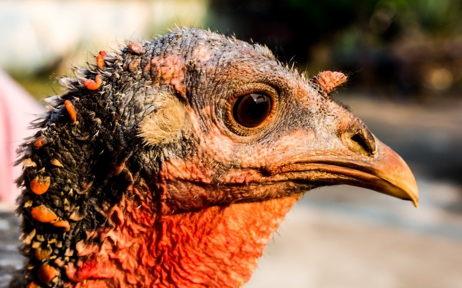 portrait of a thoroughbred turkey