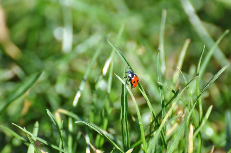 ladybug on the blade of grass in spring
