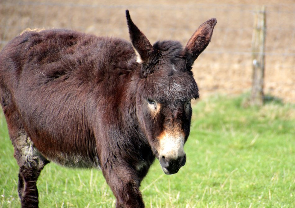 brown domestic donkey
