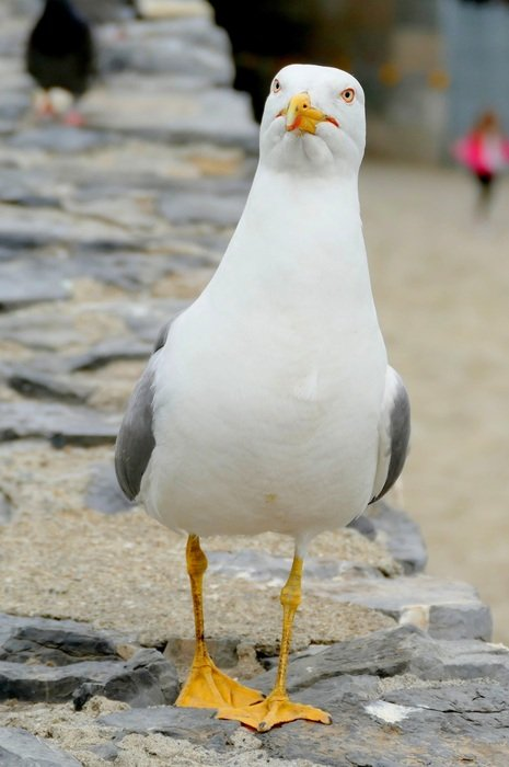white seagull looking straight
