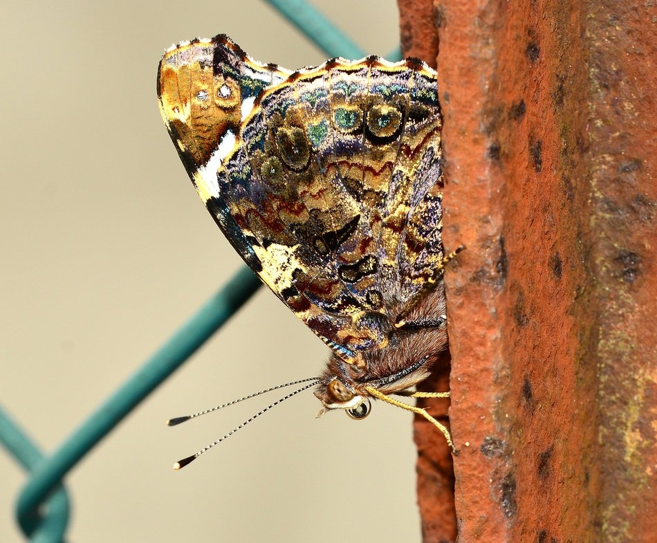 lepidoptera on the metal fence