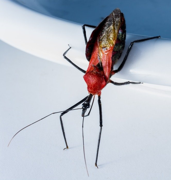exotic beetle with red head