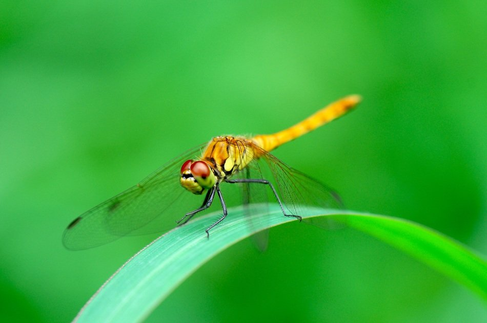 yellow bright dragonfly on a green blade of grass