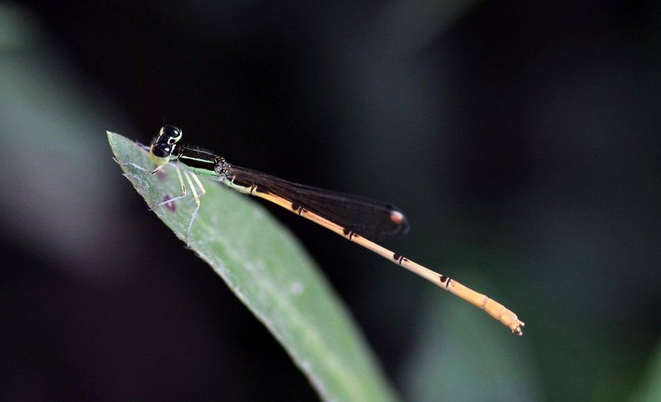 yellow damselfly on the blade of grass