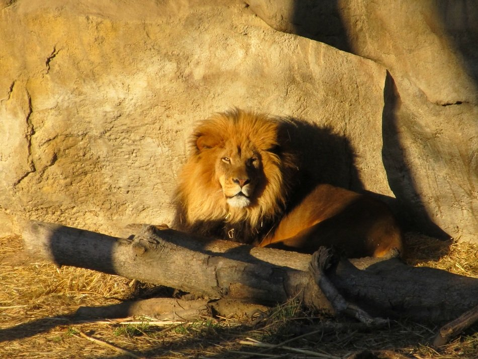 lion relaxing in sun lights