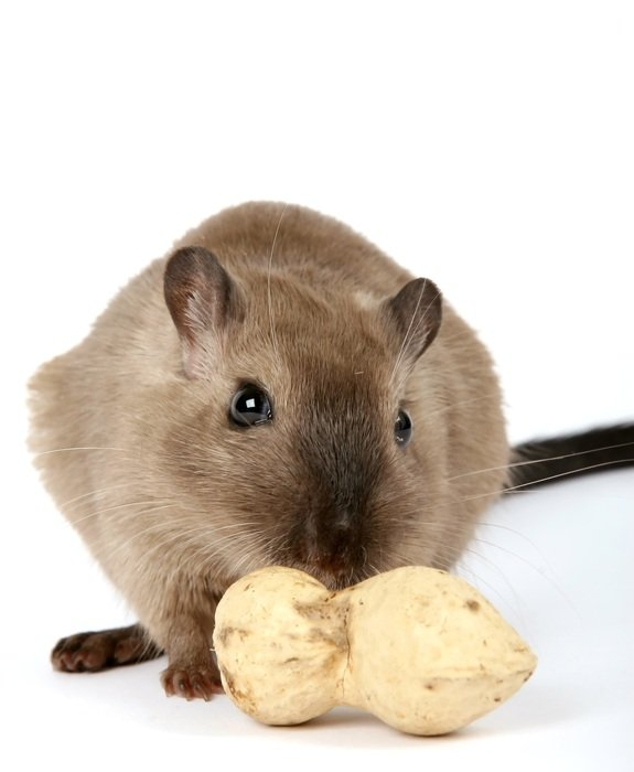 beige domestic mouse with peanut