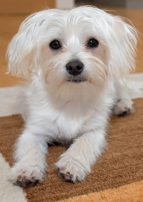 small white domestic dog