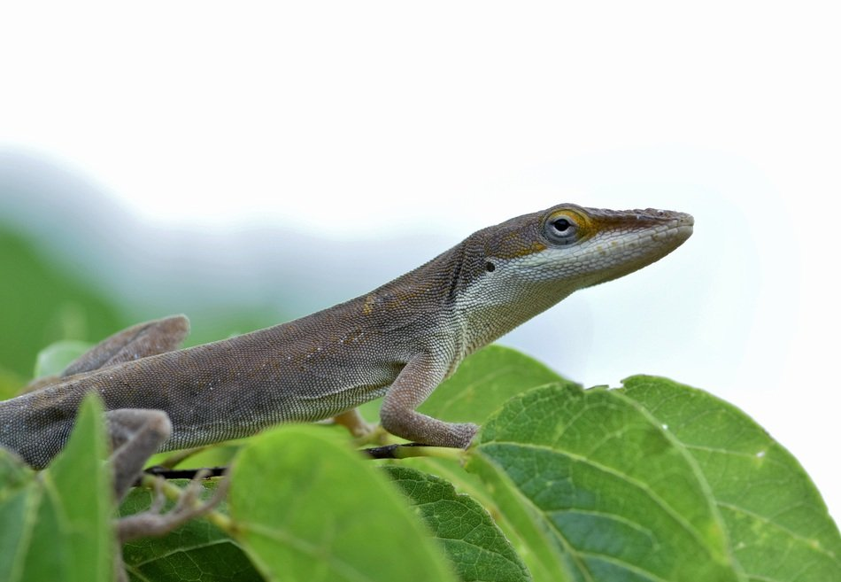 Anole Brown Lizard