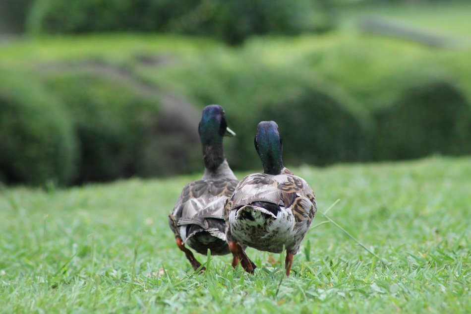 two mallards on a green lawn in the park