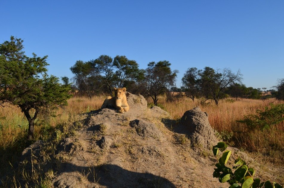 wild lions on the rock in africa