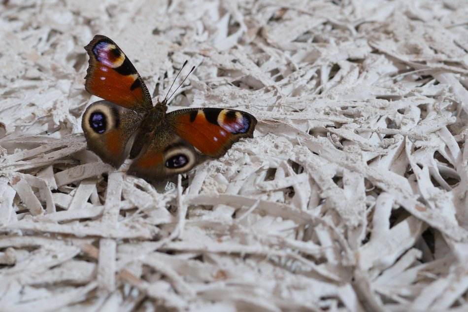 peacock butterfly on white painted straw