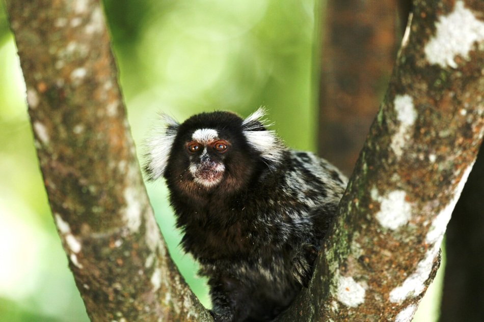 marmoset white tufts