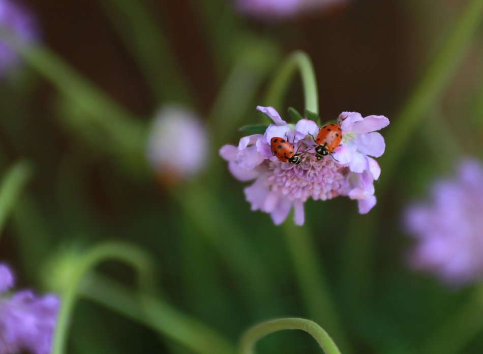two ladybugs on the purple flower