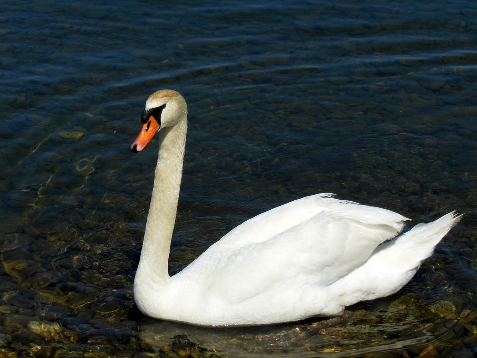 swan on the Lake Constance