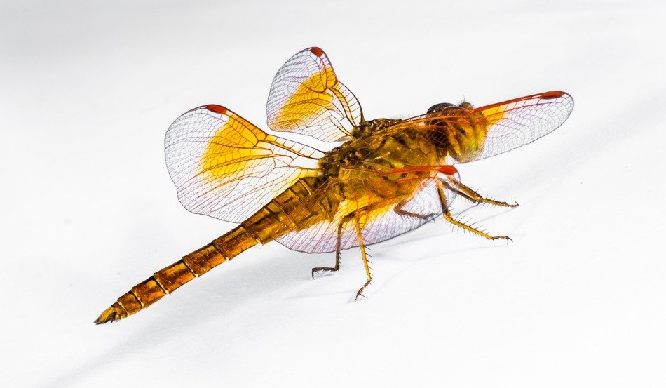 yellow dragonfly on the white background