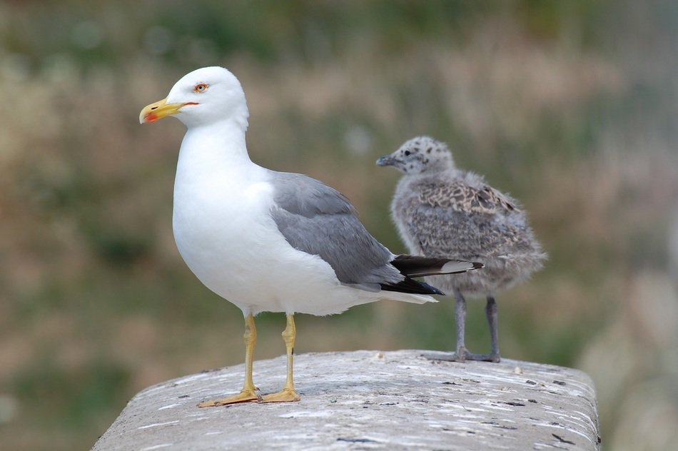 seagull with chick on a stone close-up on a blurred background