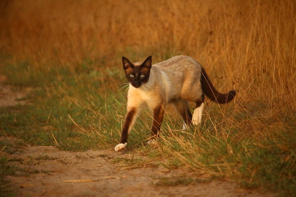 siamese cat walking on grass in the evening