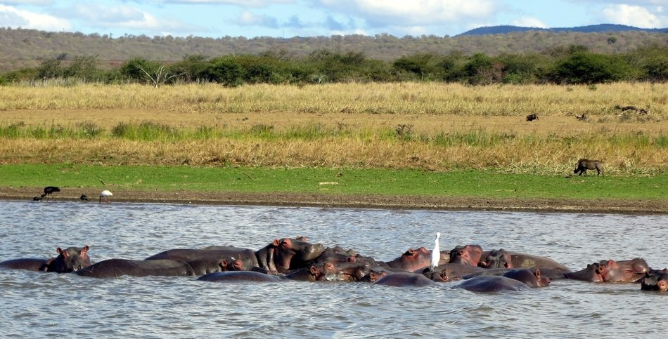 hippos in the african river