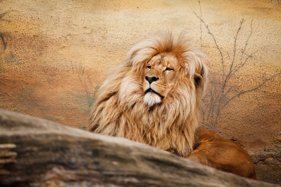 lion with thick mane