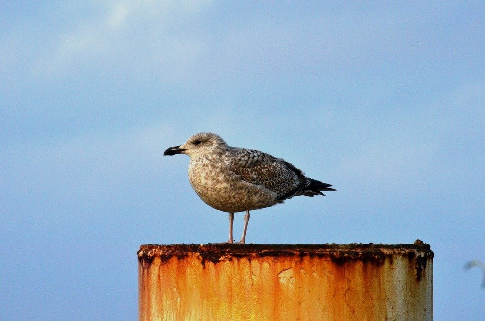 seagull on the Baltic Sea