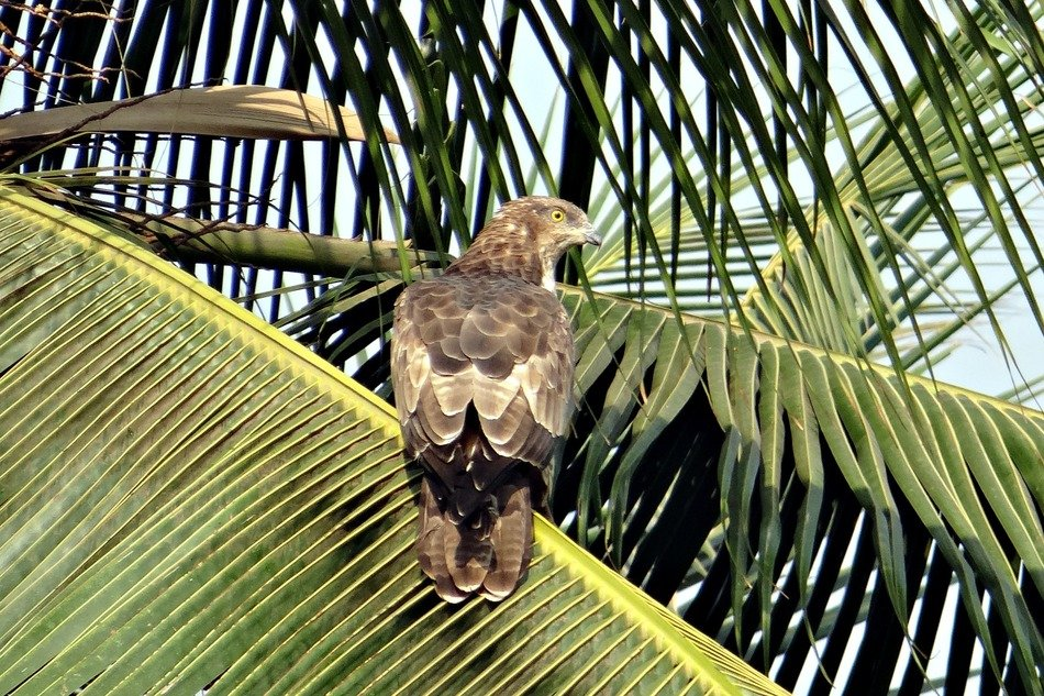 black kite on the palm leaf