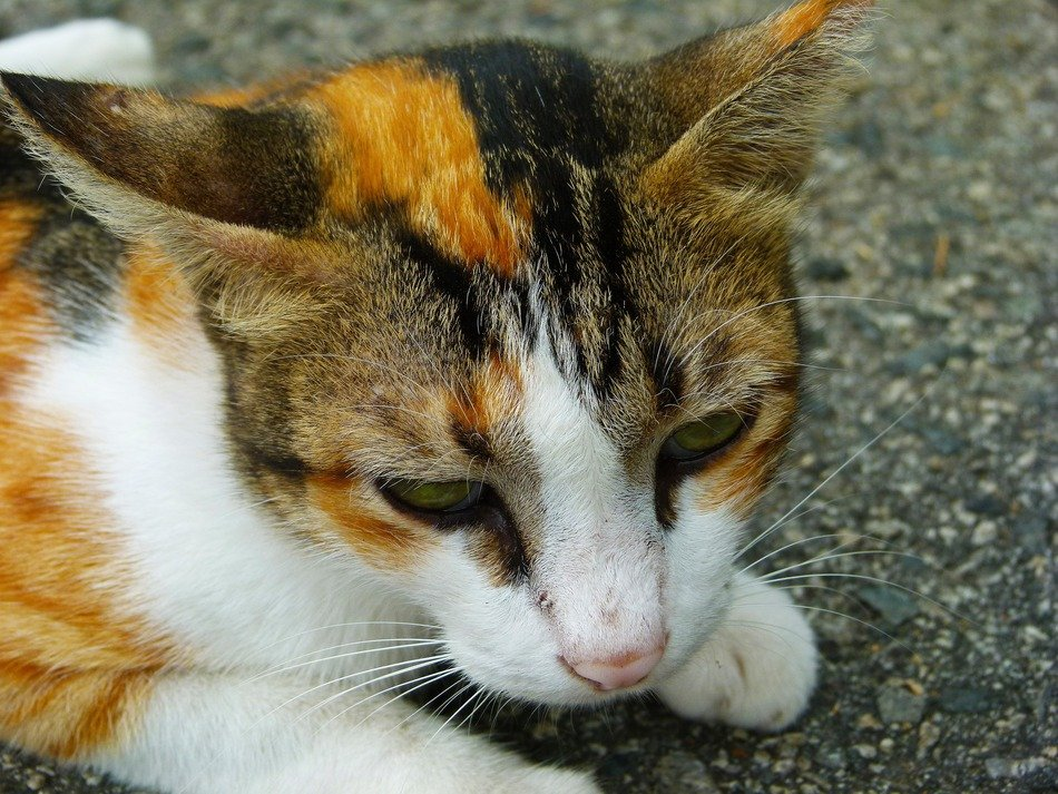 picture of three-colored cat