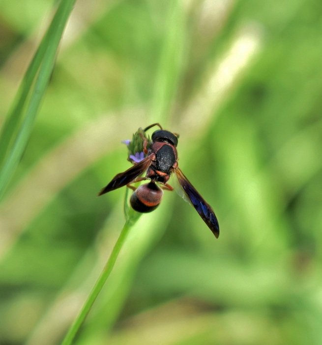 mason wasp on the blade of grass