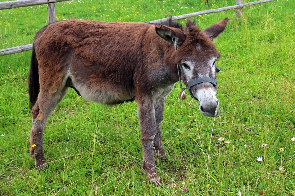 grazing brown donkey