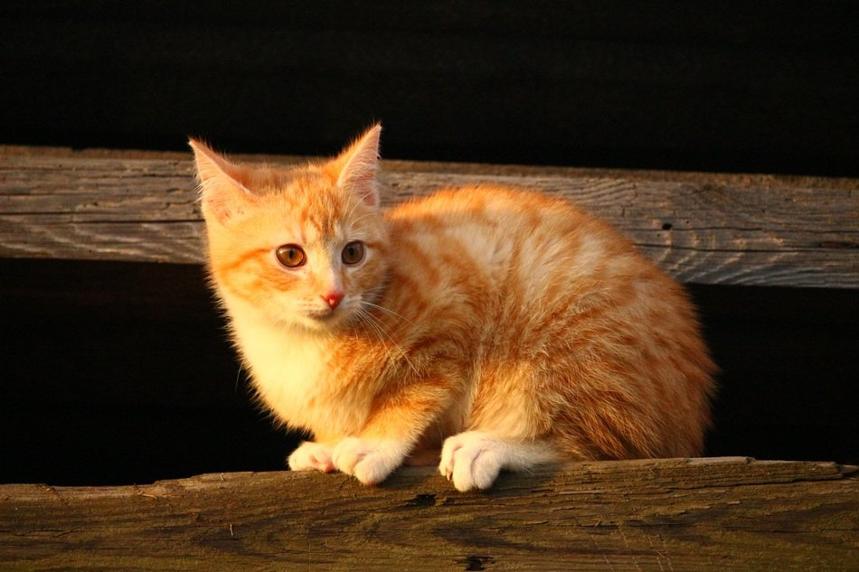 young red cat sitting on the wooden surface