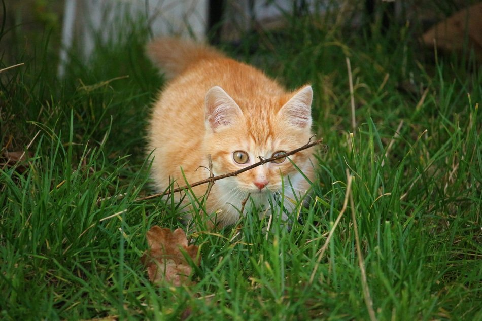 red kitten hiding in the grass