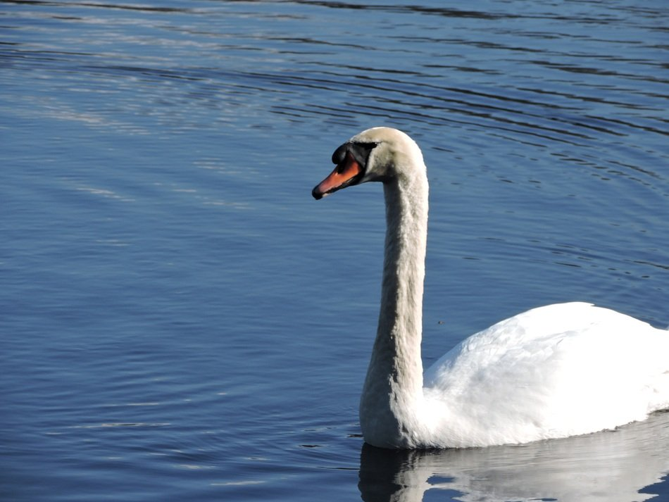 swan on the calm lake