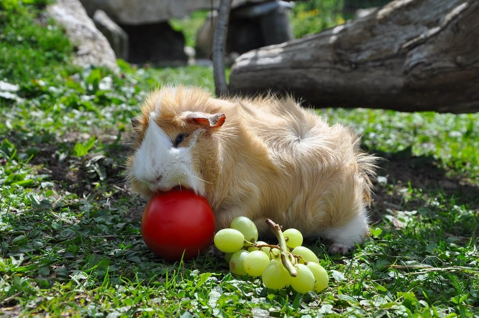 guinea pig with apple and grapes