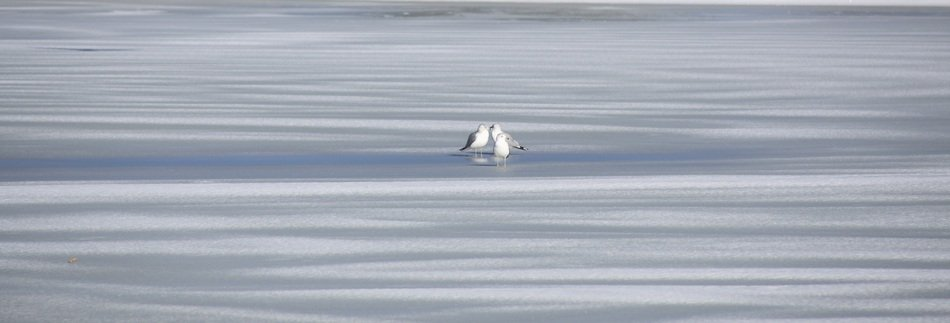 two seagulls on the frozen lake