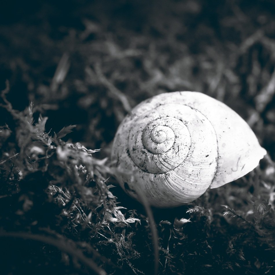 snail shell in black and white