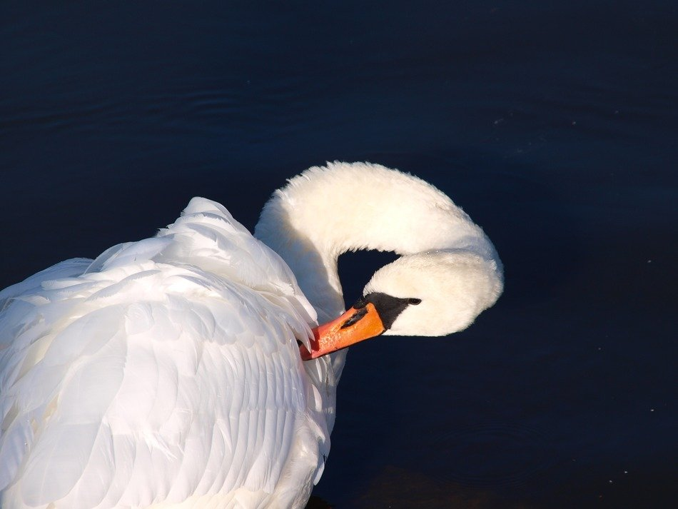 white swam cleaning feathers