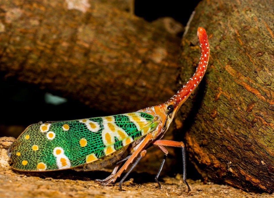 colorful canthigaster cicada