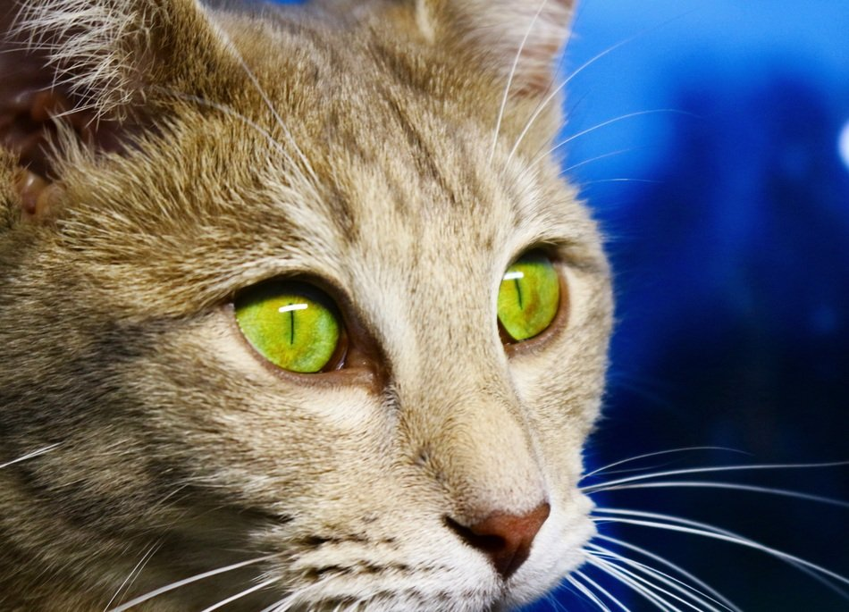 sweet cat with green eyes