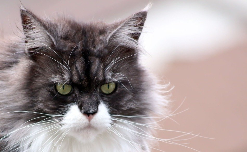 serious maine coon cat
