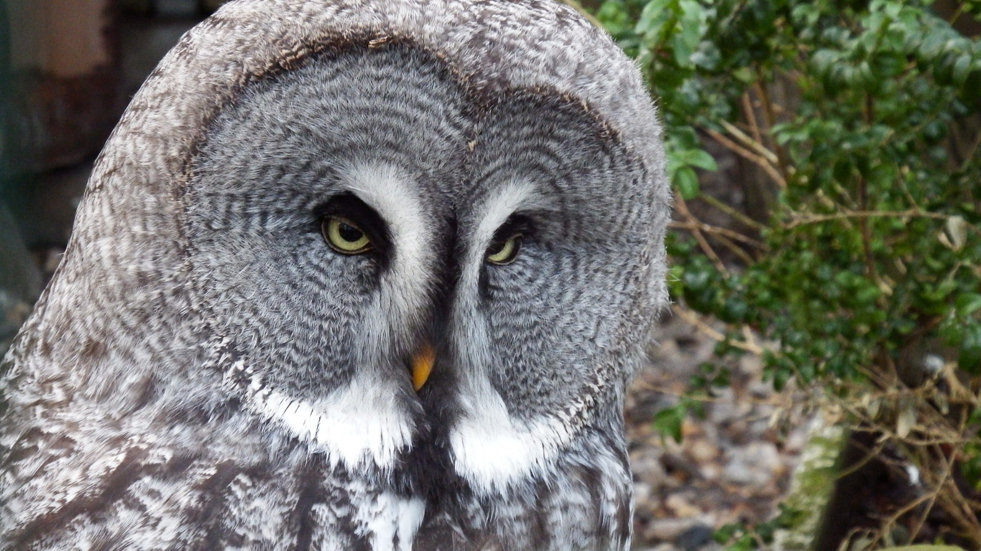 great gray owl facts - HD1920×1080