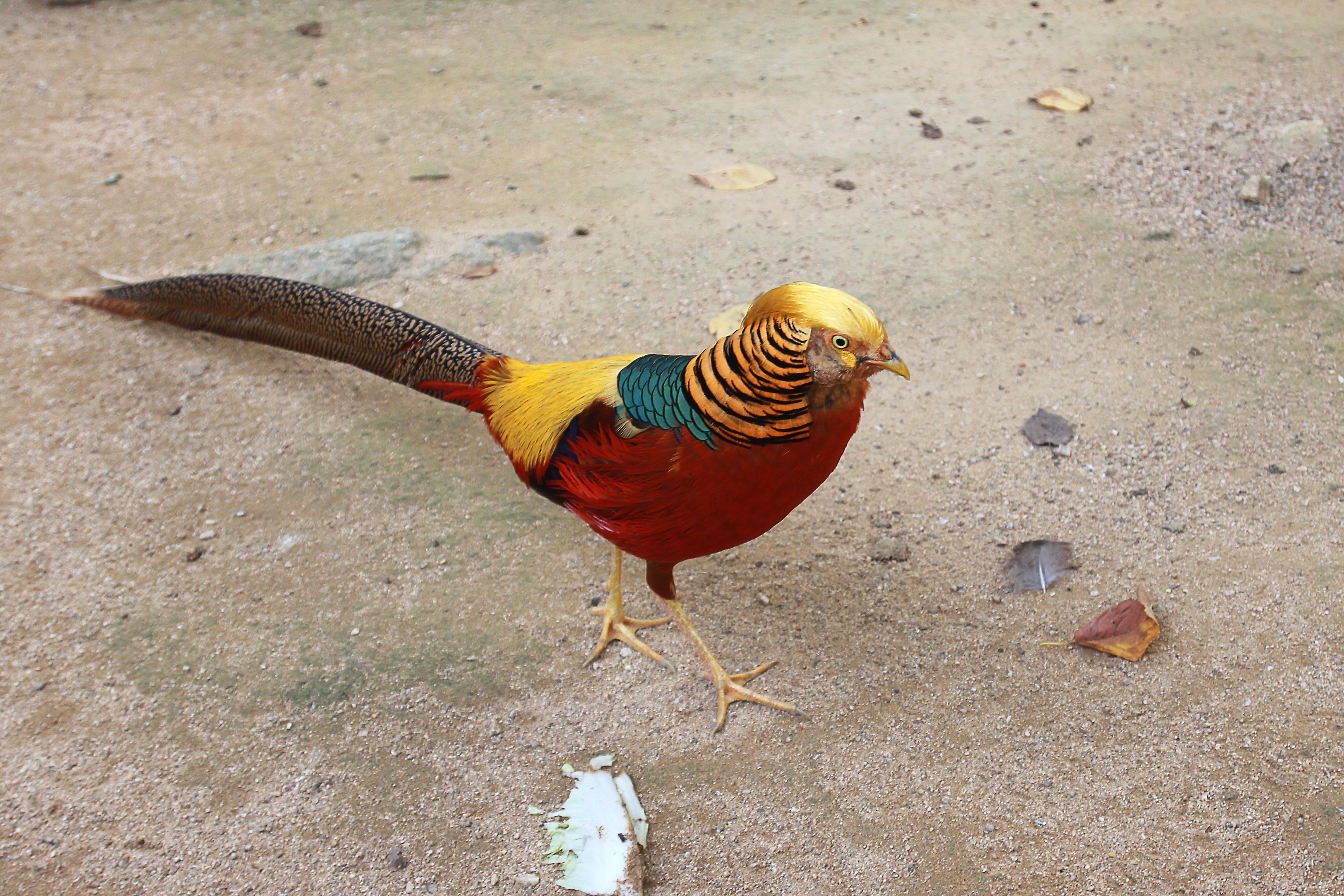 Red golden pheasant