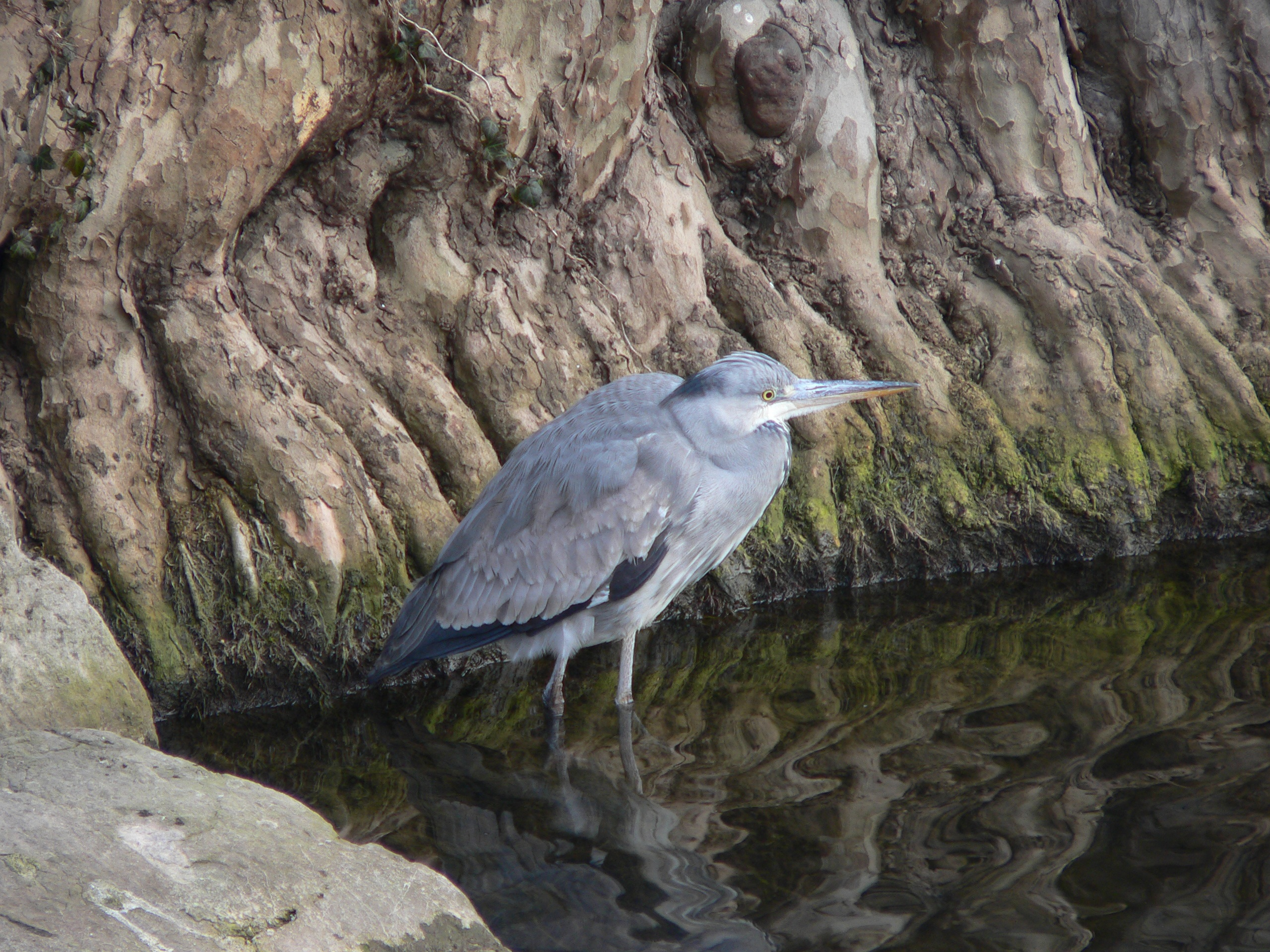 Grey heron bird