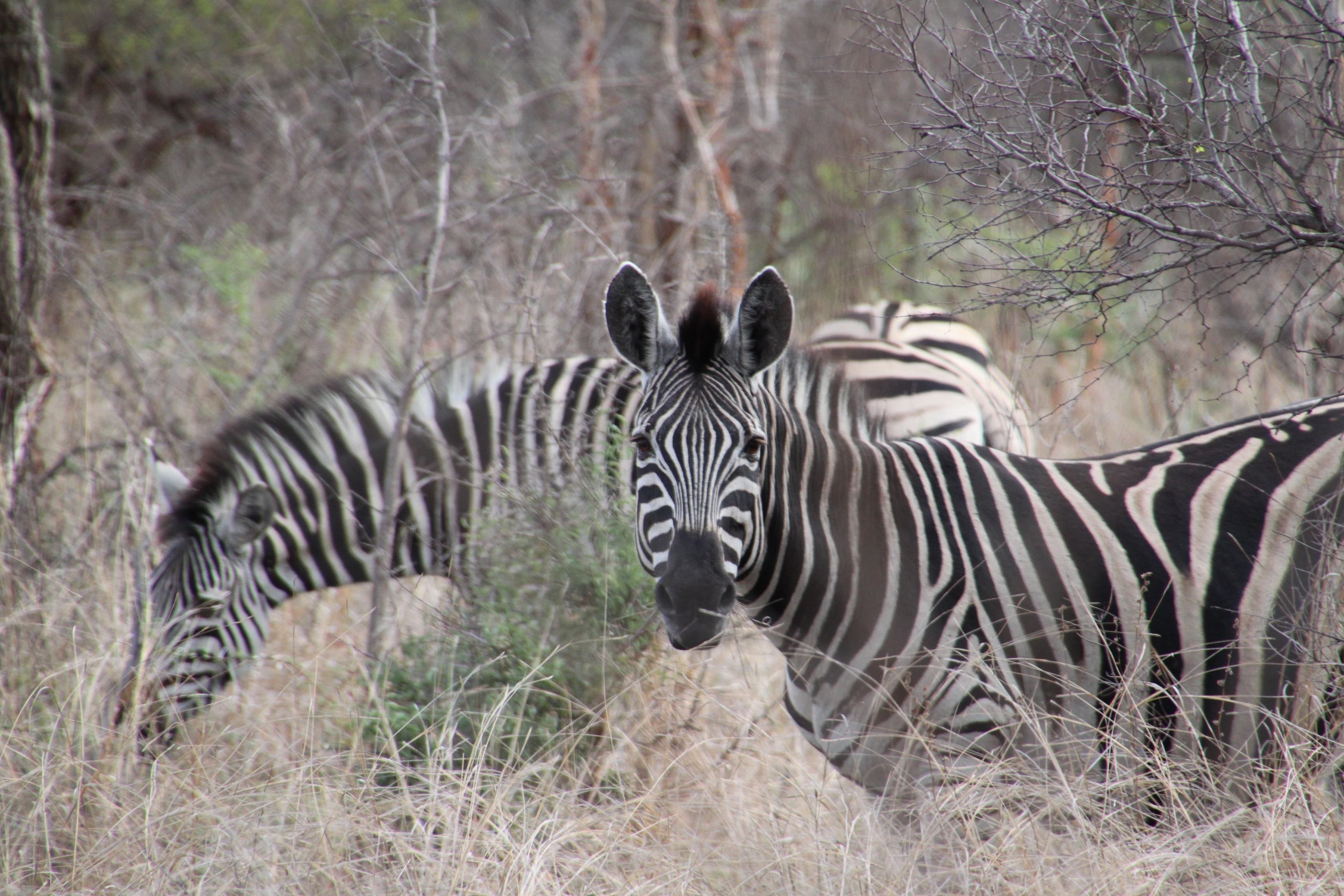 zebra wildlife south africa - HD3456×2304